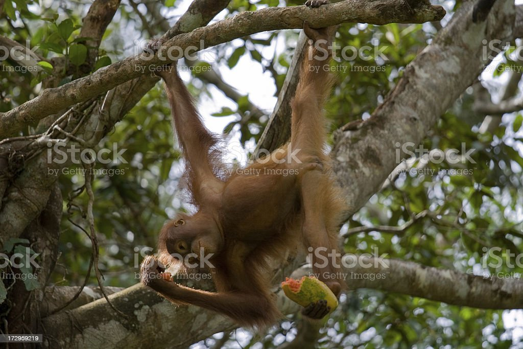 Orangutan Lunchtime stock photo