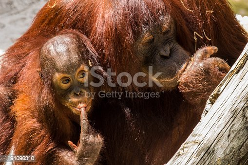 Orangutan Mother and Baby Adult Male Finger in mouth