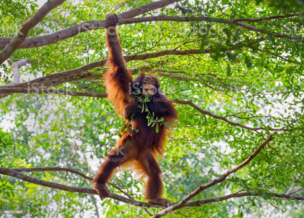 Orangutan on the tree. royalty-free stock photo