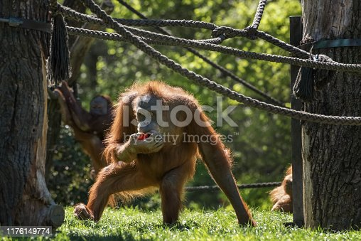 Orangutan, orang-utan, orangutang, orang-utang, the most intelligent primate Wildlife animals