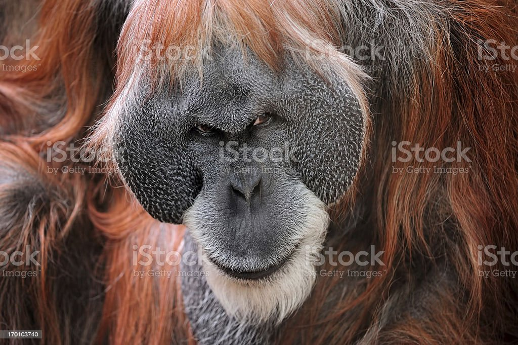 orangutan stock photo