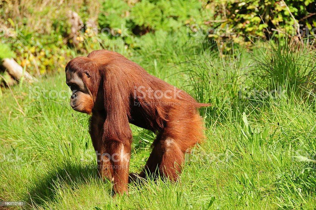 Orangutan. royalty-free stock photo