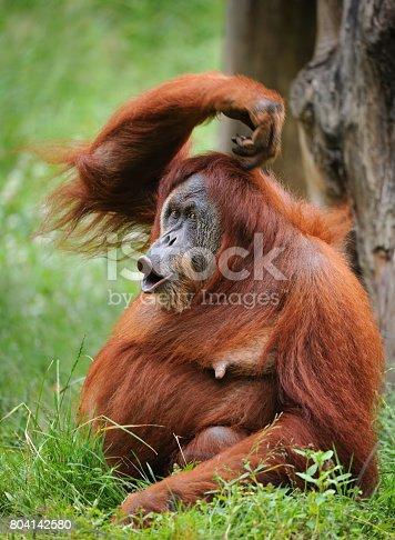 sumatran orangutan scratching head