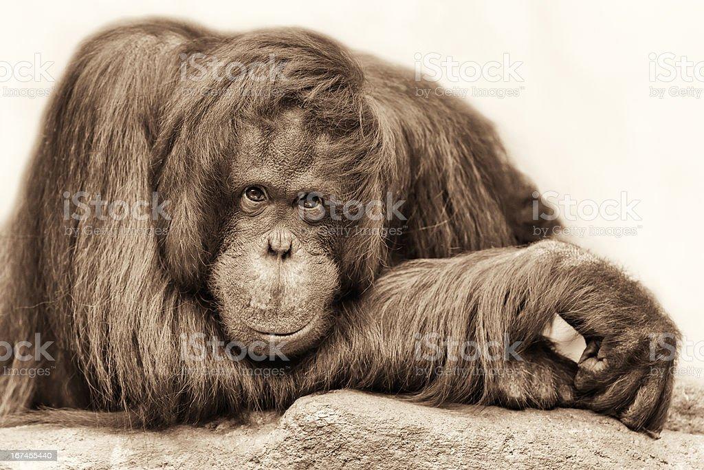 Orangutan portrait in sepia royalty-free stock photo