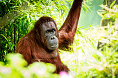 Portrait of orangutan sitting in the shade among a dense vegetation