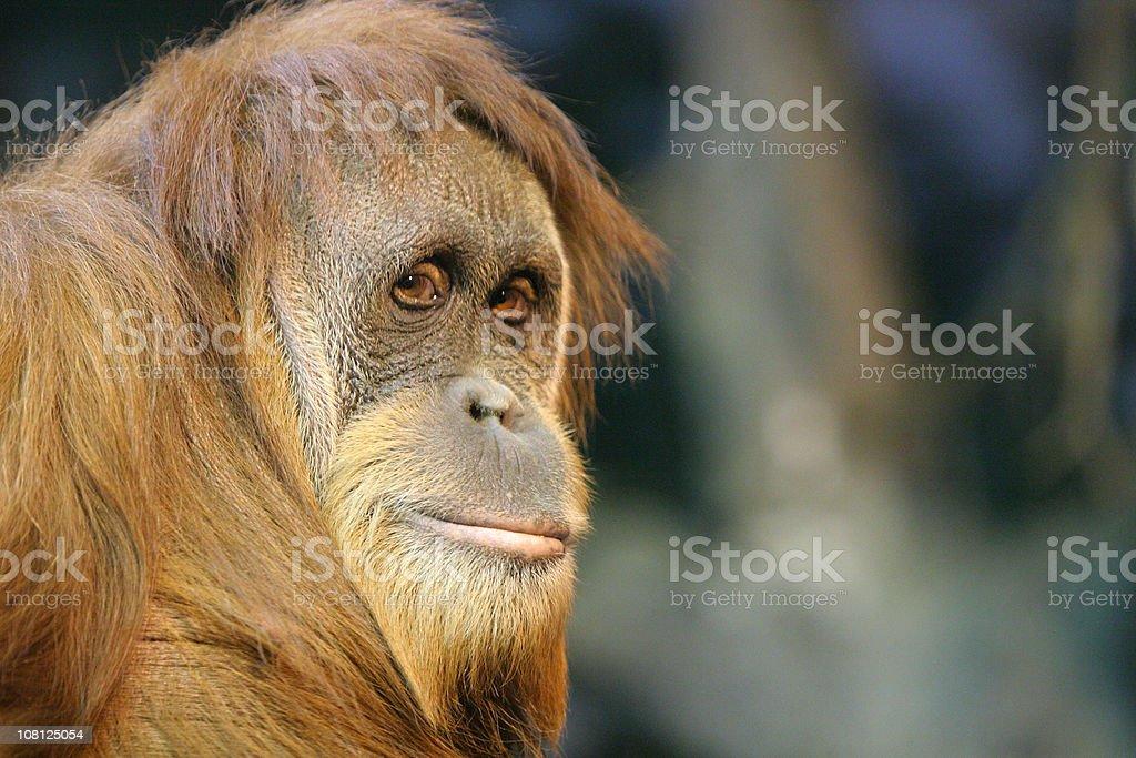 Orangutan Portrait royalty-free stock photo