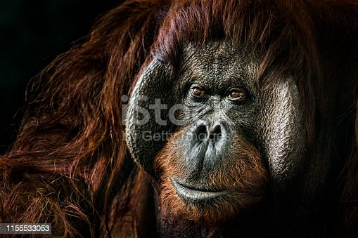 Portrait of a male orangutan sitting in the shade