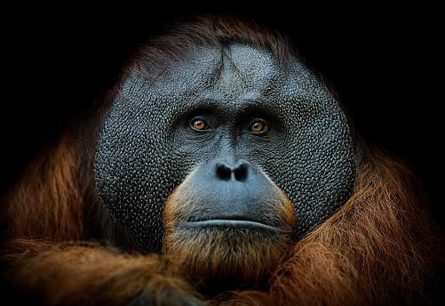 close-up of a sumatran orangutan on black background