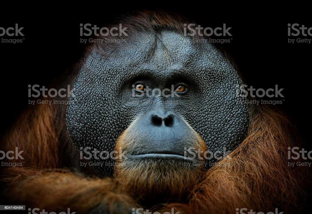 Orang-outan portrait - Photo