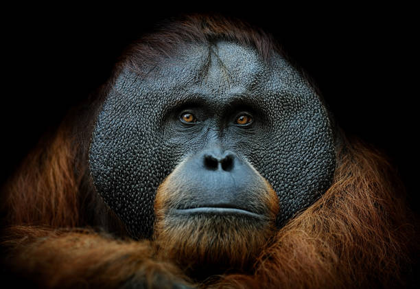 orangutan portrait close-up of a sumatran orangutan on black background animal eye stock pictures, royalty-free photos & images