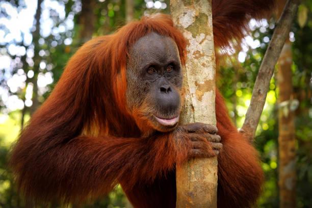 Orangutan posing picture id1081914456?b=1&k=6&m=1081914456&s=612x612&w=0&h=svowzzgegrhg15yjac1pjniioubs6h2bqqxkjnrpxyy=