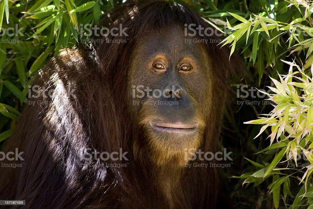 Orangutan Shade royalty-free stock photo