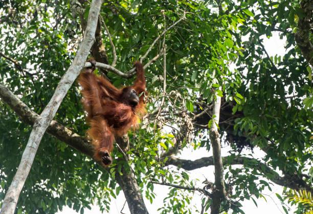 Orang-Utan auf einem Baum sitzend – Foto