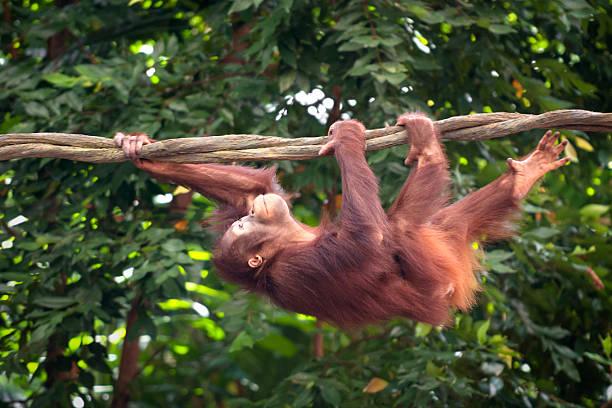 orangutan swinging through the rain forest - schommelen bungelen stockfoto's en -beelden