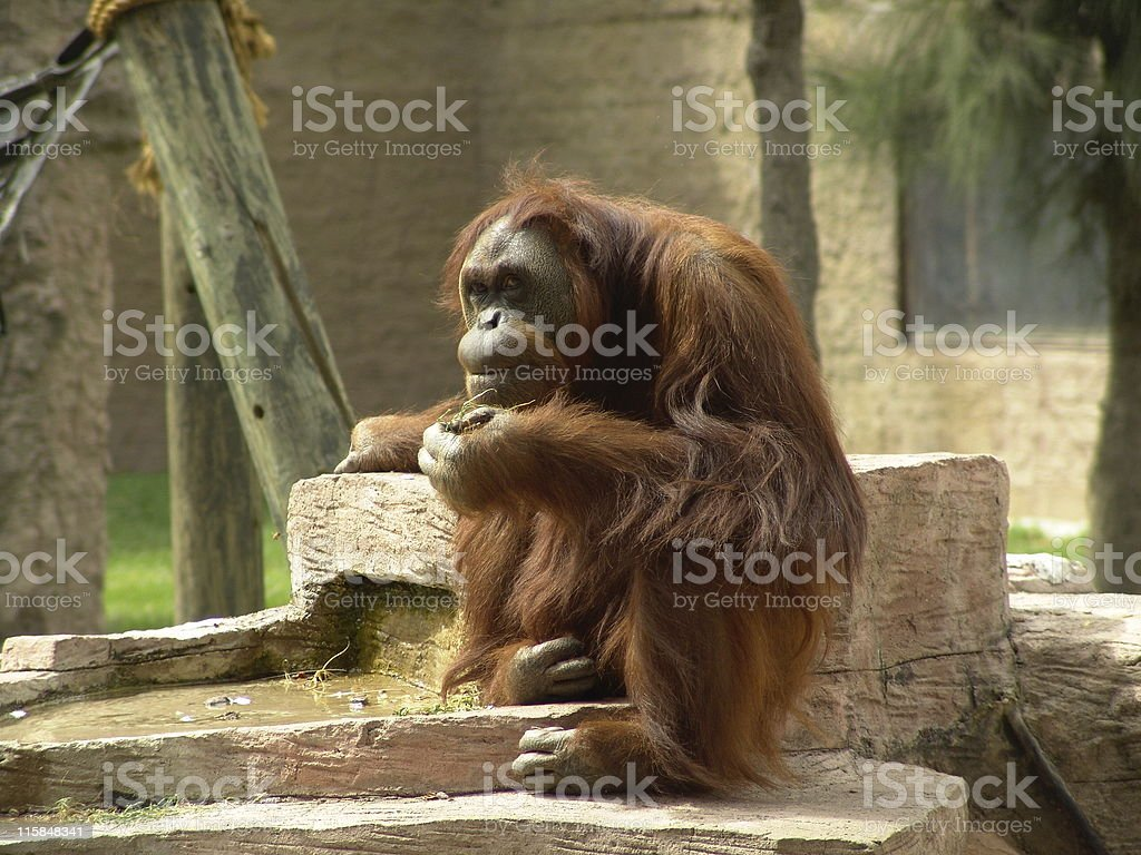 Orangutan thinking royalty-free stock photo