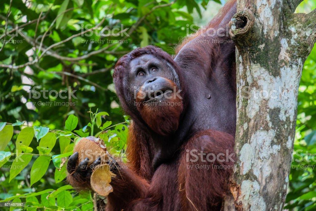 Orangutang Borneo stock photo