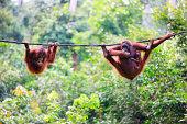 Image taken of a wild orangutan baby, in a nature reserve in Borneo.