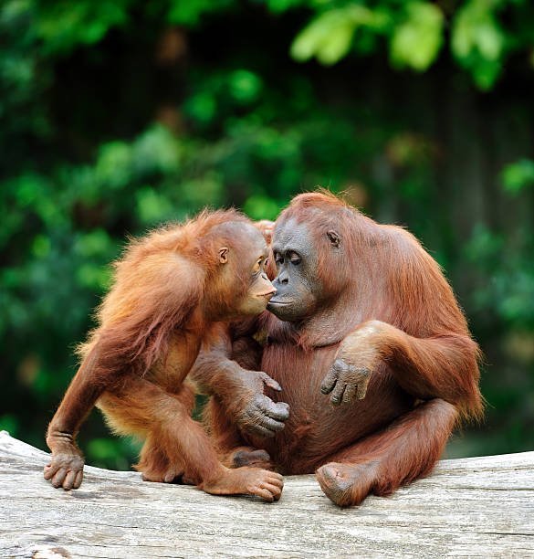 orangutans in love two bornean orangutans care about each other orangutan stock pictures, royalty-free photos & images