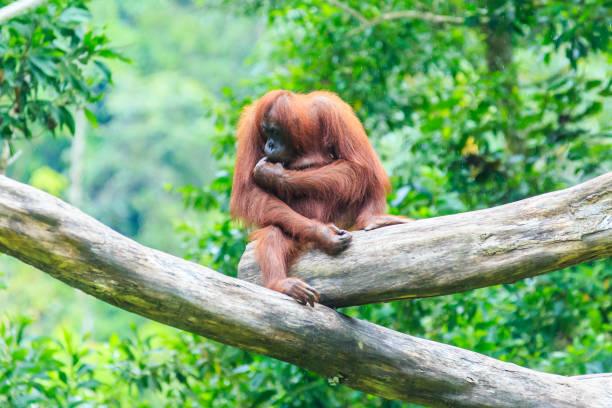 Orangutans or pongo pygmaeus picture id1152113330?b=1&k=6&m=1152113330&s=612x612&w=0&h=freoq8hjwb11jinqcuxytbyuymioyjj yoxzzp tqns=