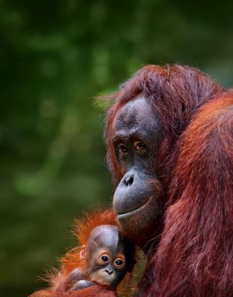 orangutans stock photo
