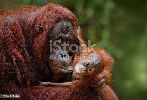istock orangutans 899748046