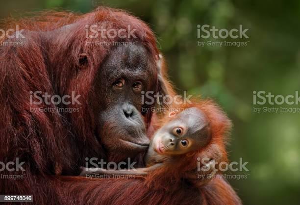 Orangutans picture id899748046?b=1&k=6&m=899748046&s=612x612&h=dxvxunq9lcnuno e1gvsldwnuqd za2nm8jsm4yckc4=