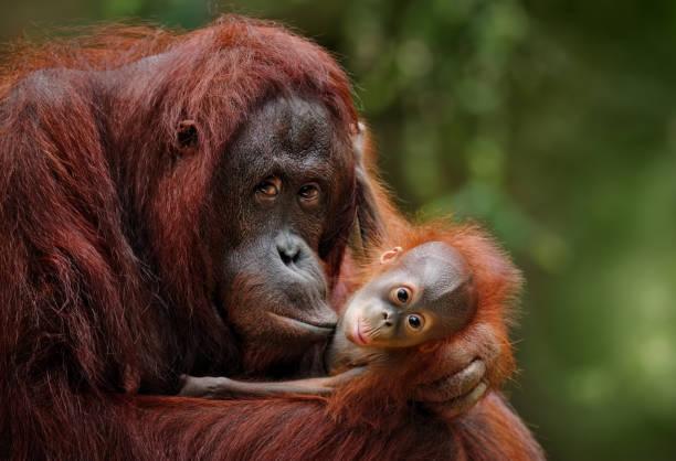 Orangutans picture id899748046?b=1&k=6&m=899748046&s=612x612&w=0&h=vlgw hawsdazhbjpeqqbvg ffkdpeaouisy3aaoklyw=