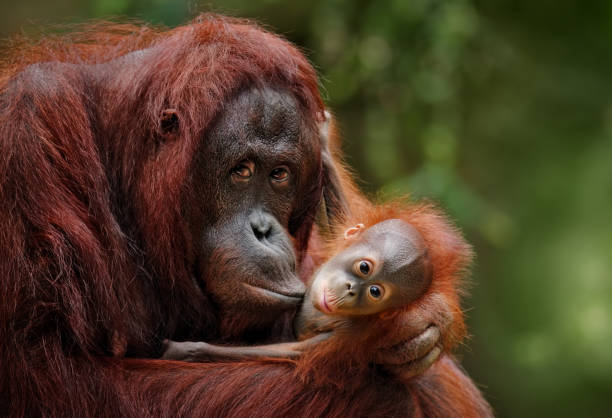 orangutans orangutan mother with child in nature animal family stock pictures, royalty-free photos & images