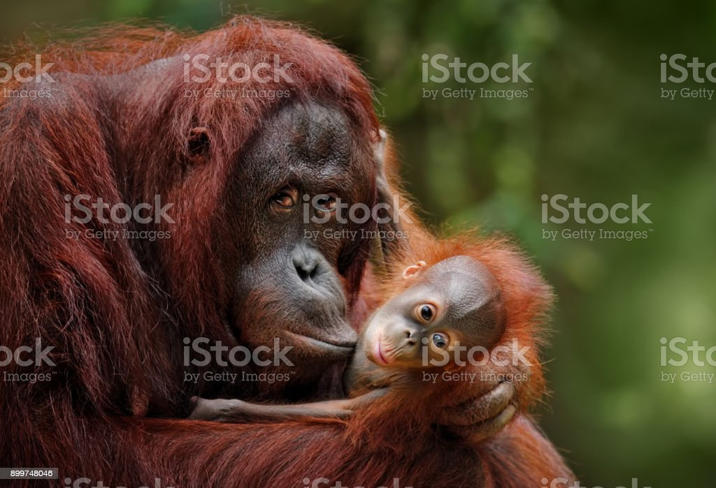 Orangs-outans - Photo