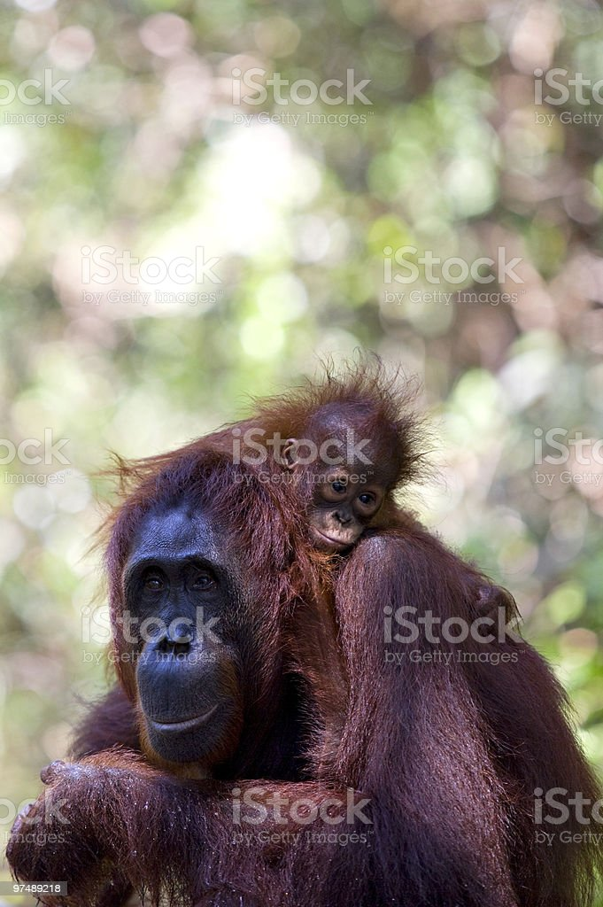 Orangutans royalty-free stock photo