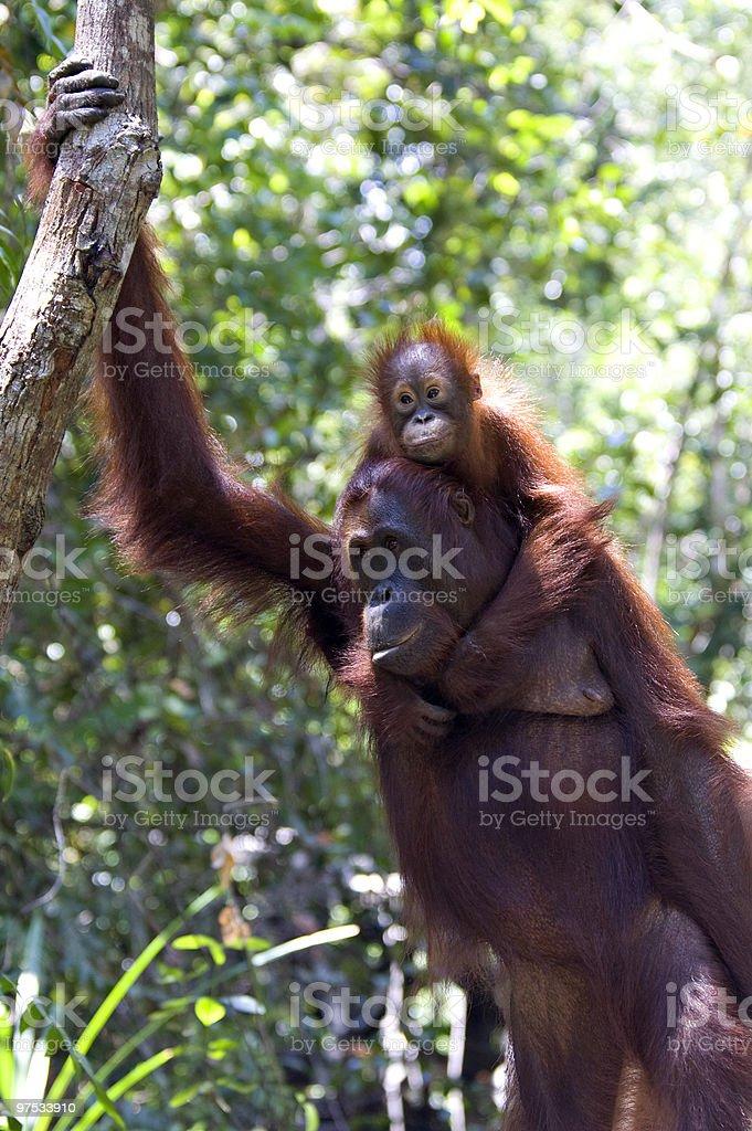Orangutans royalty-free stock photo