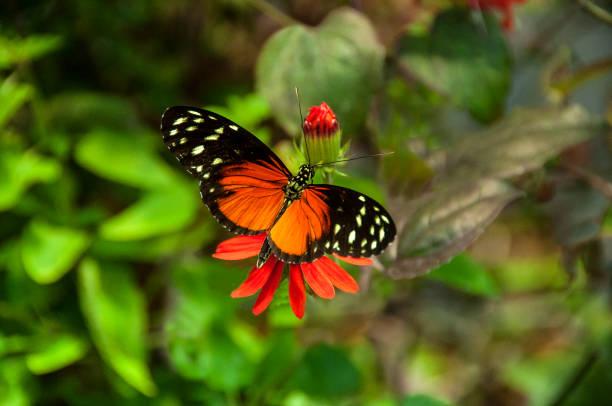 Oranje zwarte vlinder picture id825627488?b=1&k=6&m=825627488&s=612x612&w=0&h=ilahzuo6kjavd5jkqz9wojauecjwahndfnrotw gywk=