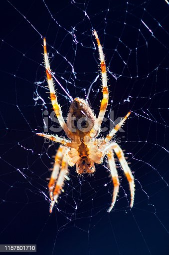 Extreme close-up on one insect animal, Orb weaver garden spider orange colored in macro, selective focus on spider web outdoors in France, Ain department.