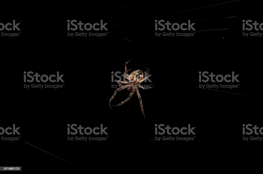 Orb Weaver Spider at Night stock photo