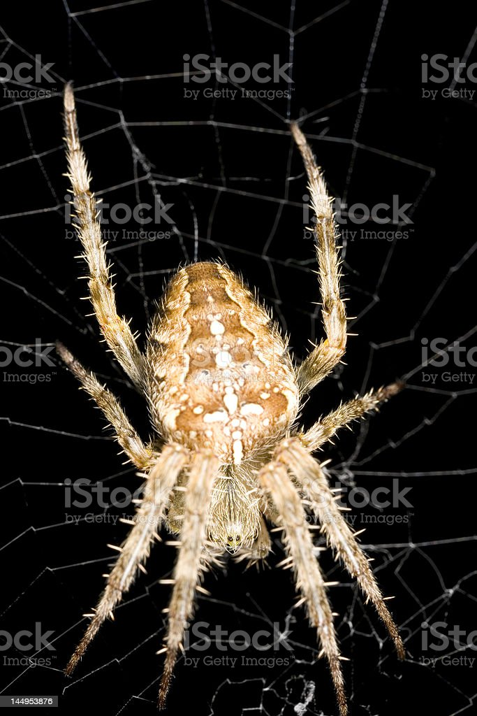 Orb weaver spider from near Seattle Washington stock photo