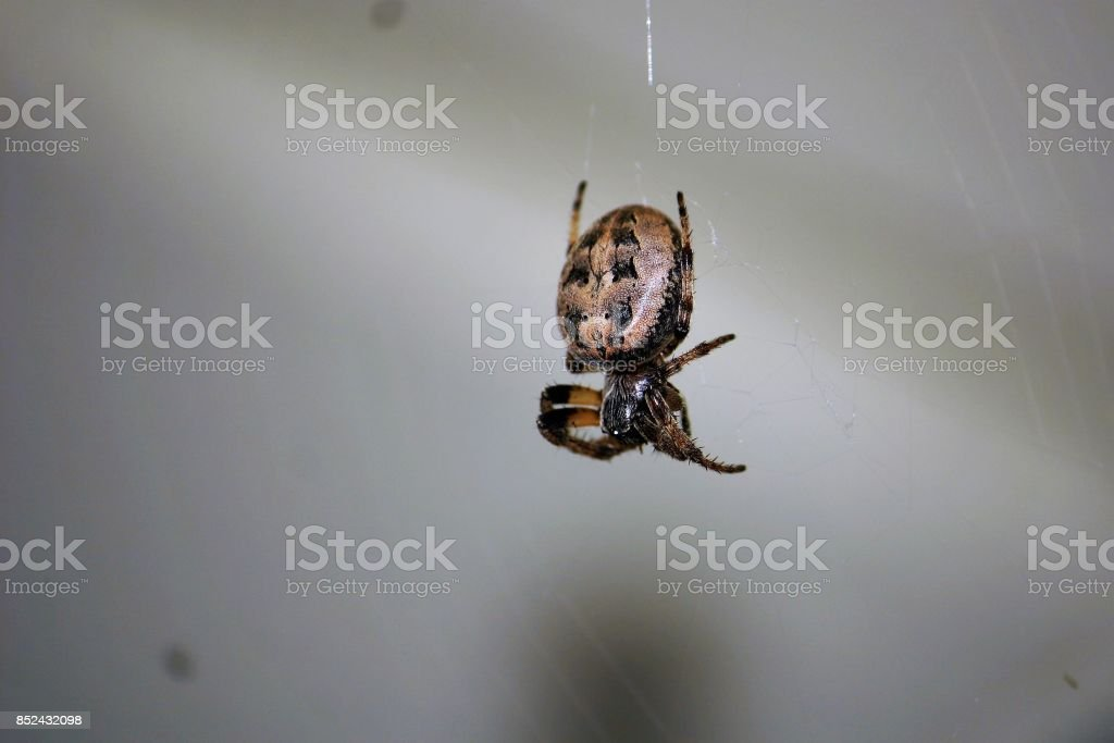 Orb Weaver Spider hanging on web. stock photo