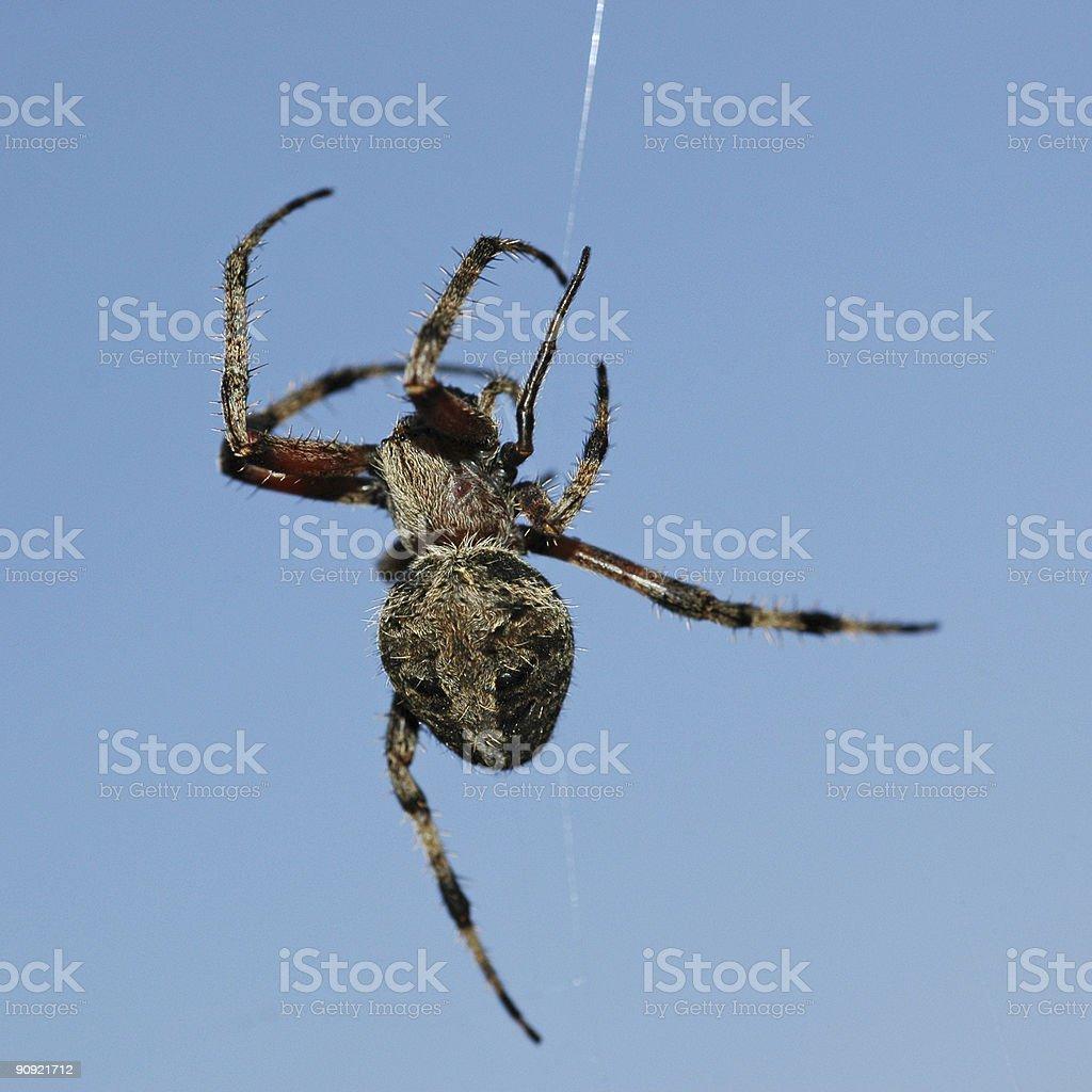 orb weaver spider, Neoscona crucifera stock photo