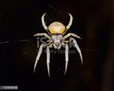 Orb Weaver spider waiting for prey in its web at night with a black background.
