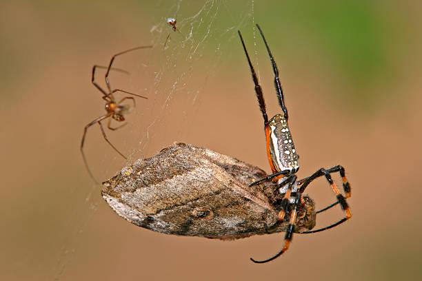 kugel-web-spider - mottenfalle stock-fotos und bilder