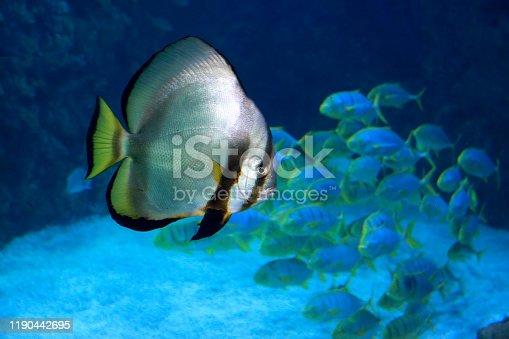Orbicular batfish (Platax orbicularis) - ocean and sea fish