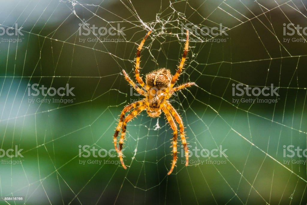 Aranha Orbweaver - foto de acervo