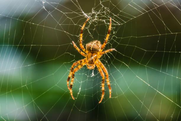 araignée orbweaver - araignée photos et images de collection