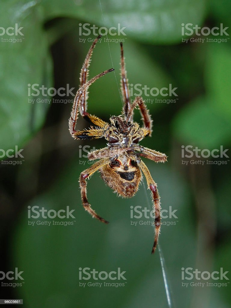 Orbweaver Spider royalty-free stock photo