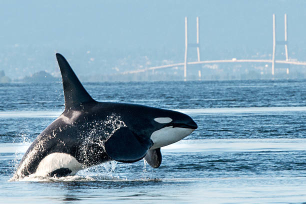 Orca breaching in Vancouver Harbor stock photo
