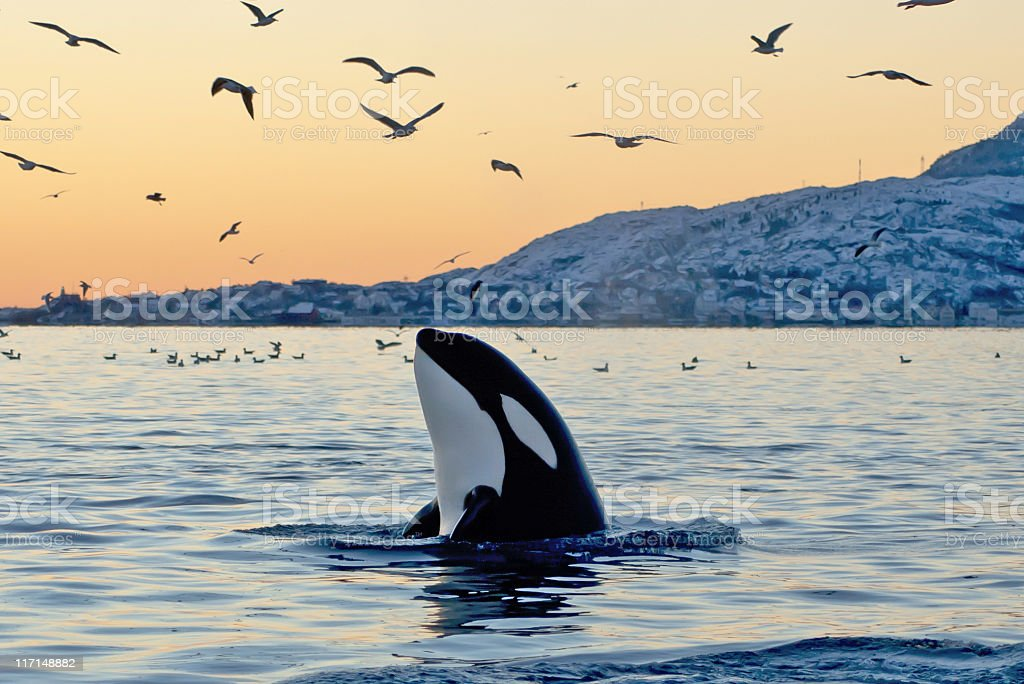 Orca emerging from the ocean at sunset with coast and birds stock photo