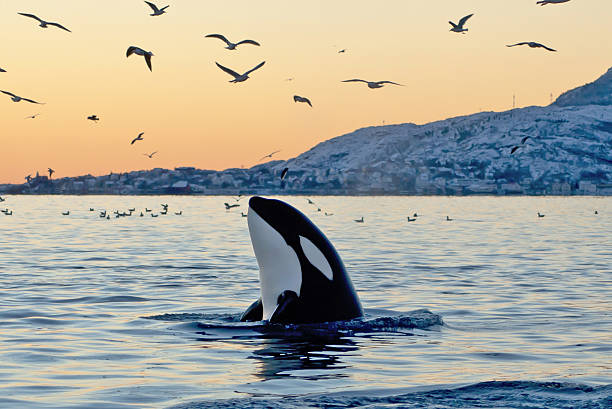 Orca emerging from the ocean at sunset with coast and birds [b]Big Orca looking around[/b] --- SEE MORE OF MY ORCA PICTURES --- [align=