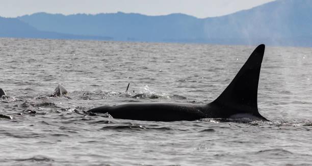 Orca Feeding Frenzy – Foto