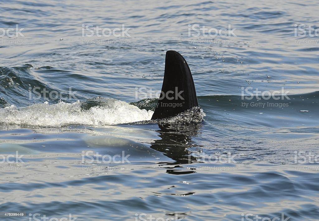 Orca fin royalty-free stock photo