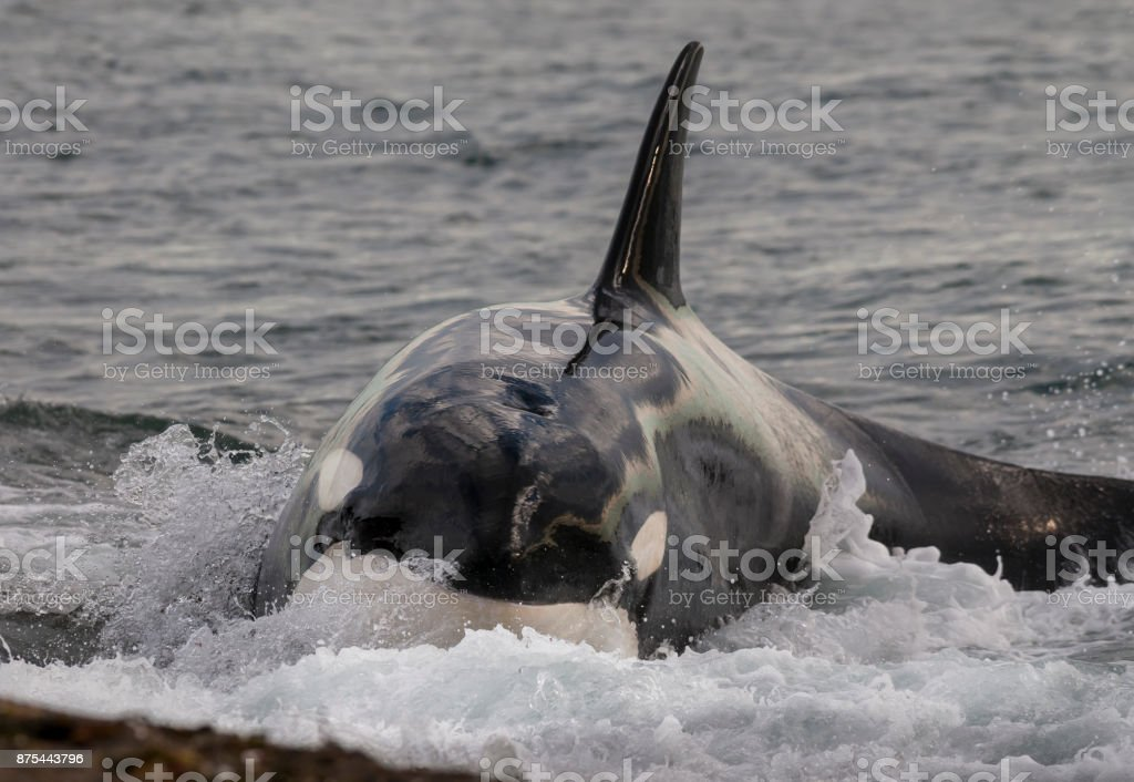Orca hunting sea lions stock photo
