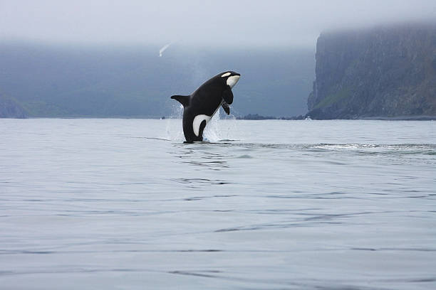 Orca jumping in the wild stock photo